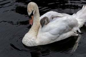 A mute swan with one of her two cygnets in Abington Park, UK