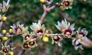Chimonanthus praecox.