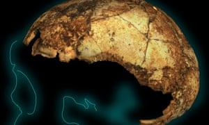 Homo erectus cranium outline