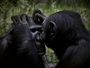 Two chimpanzees groom each other at Lwiro Primate Centre