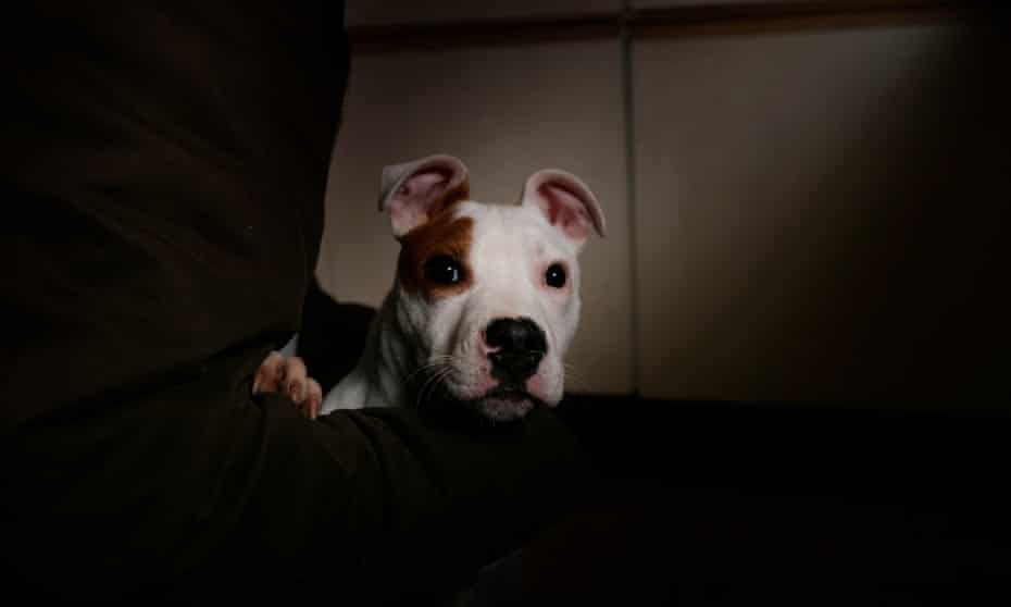 A pit bull terrier.