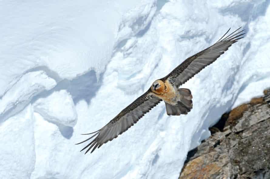 A bearded vulture