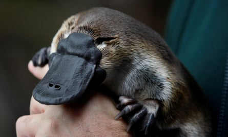 A new report finds platypus habitat has shrunk by almost three times the size of Tasmania since 1990.