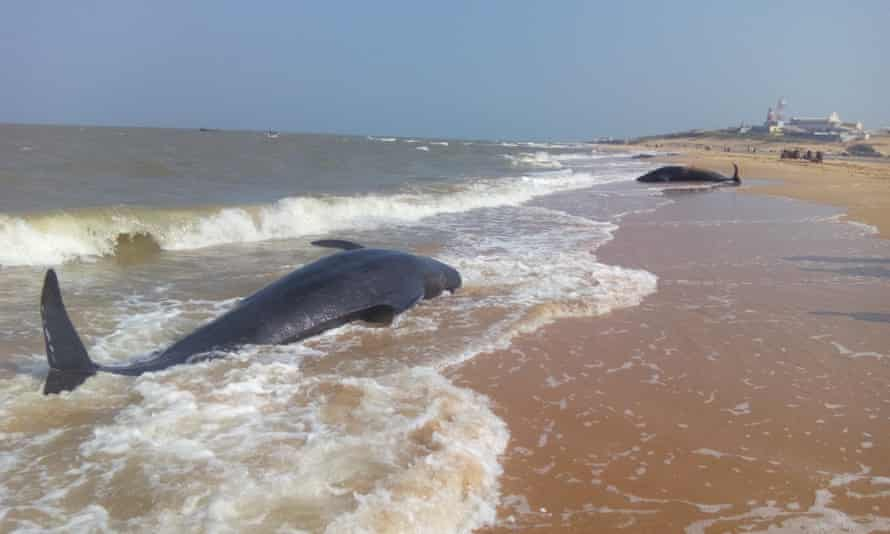 Beached short-finned pilot whales