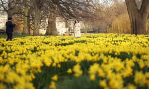 Daffodils in St James's Park, London