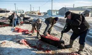 A whaling crew in Barrow, Alaska, cut up a bowhead whale caught during a traditional subsistence hunt protected by law.