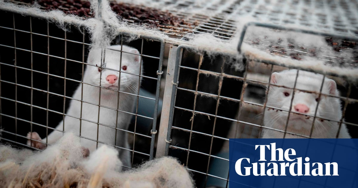 Mink and coronavirus: what's happened and should we be worried? – The Guardian