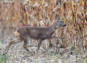 A roebuck enters a cornfield in Brandenburg, eastern Germany
