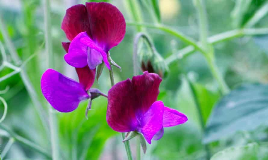 Sweet pea 'Matucana' was brought to the UK from Sicily in 1699.