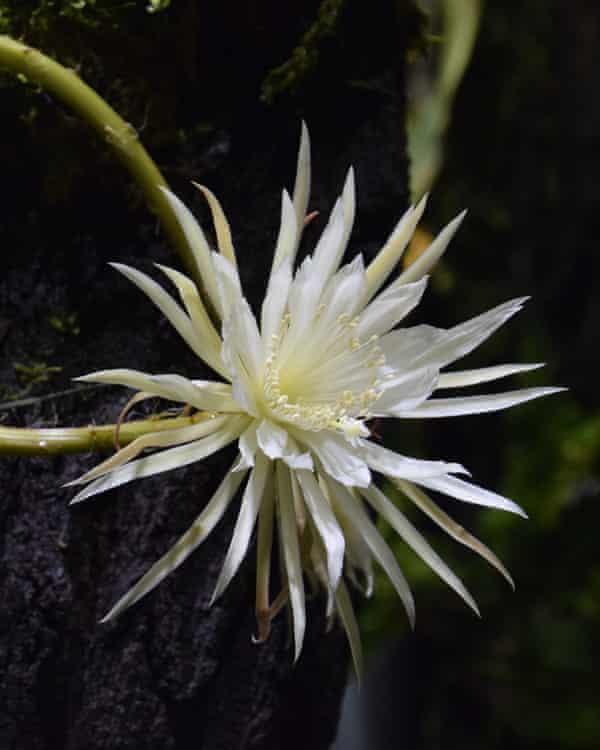 flowering Selenicereus wittii