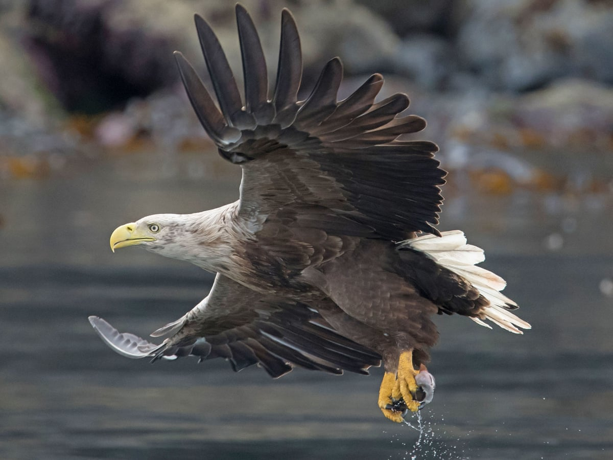 White Tailed Eagles Return To Southern Britain After 240 Years Birds The Guardian
