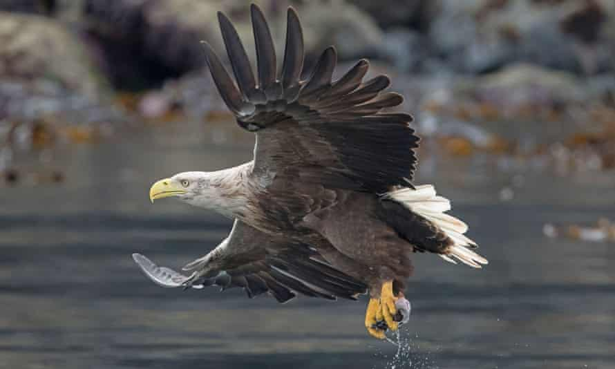 A white-tailed eagle, Britain's largest bird of prey.