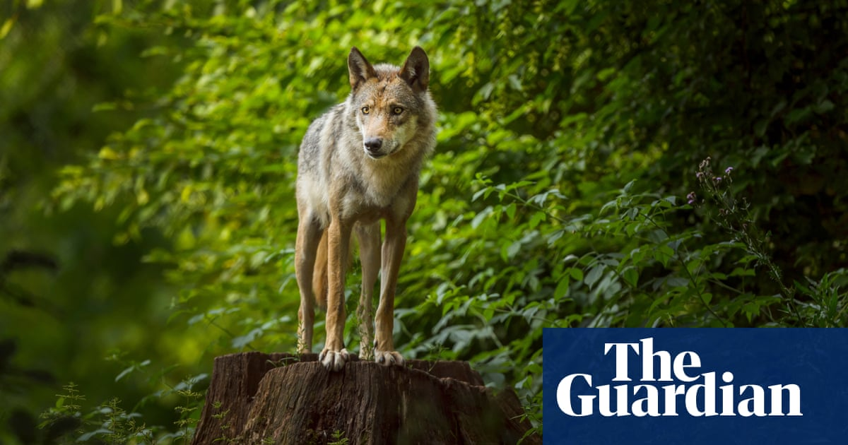 Wolf cubs on way as Belgium becomes 'wolf crossroads of Europe'