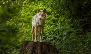A European grey wolf in Germany