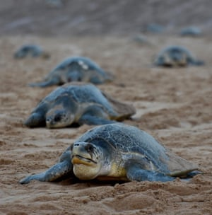 Olive ridley sea turtles return to the sea after laying eggs on Rushikulya beach, India