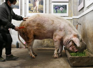 Chengdu, China Zhu Jianqiang, or 'strong-willed pig', famous for surviving more than a month buried in the ruins after the magnitude-8.0 Wenchuan earthquake in 2008, feeds on food sent by admirers wishing it a safe winter