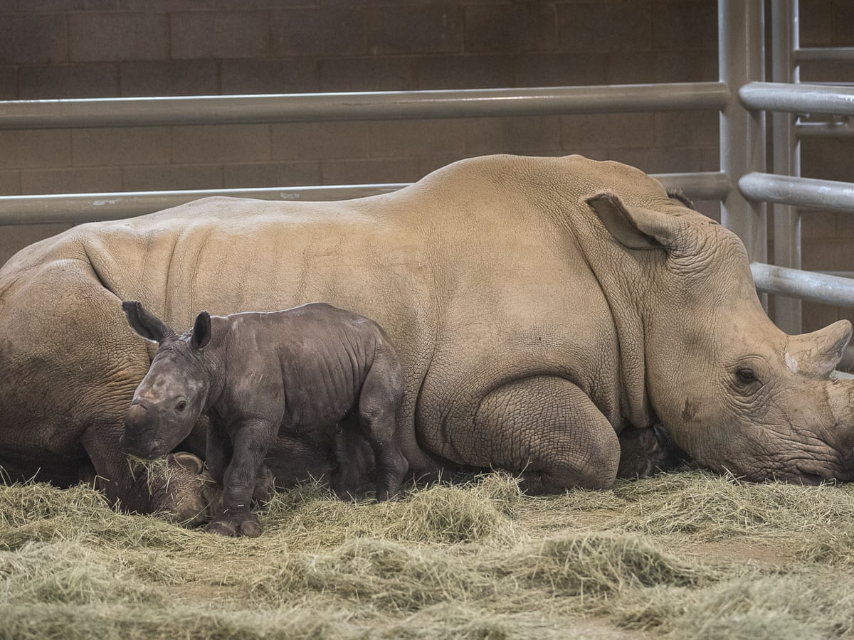 Baby Rhino Is America S First Born From Artificial Insemination Us News The Guardian
