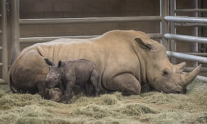 A day-old southern white rhino calf stands beside its resting mother, Victoria, at the San Diego Zoo Safari Park in Escondido, California.