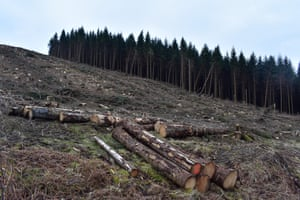 Felled Sitka spruce in Wolfhopelee, Scottish Borders
