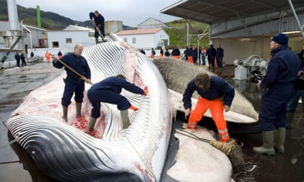 Hvalur whalers cut open a fin whale north of Reykjavik in 2009