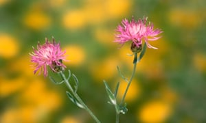 Knapweed has been seen flowering this autumn, well past its usual season.