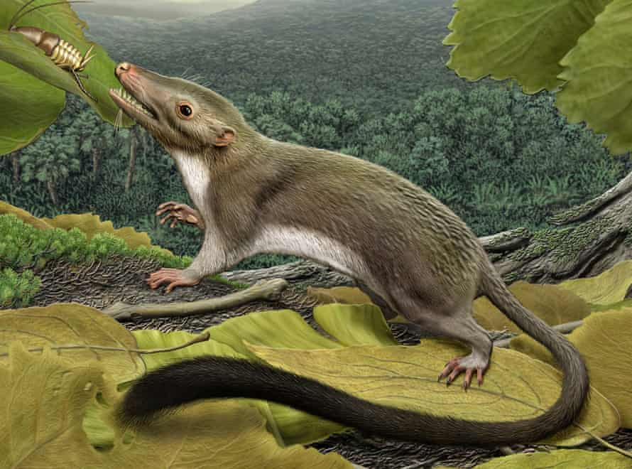 The hypothetical placental mammal ancestor, a small, insect-eating animal.