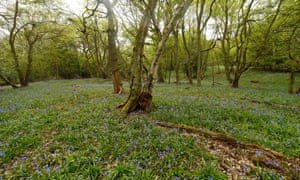 Patchy bluebells in Black Hayes