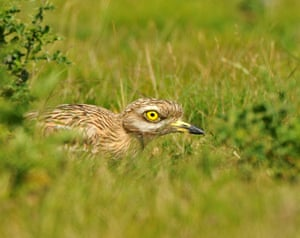 A stone-curlew, one of Britain's most threatened birds is tracked with GPS tags for the first time to help create the habitat it needs to survive