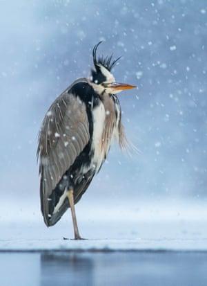 Grey Heron, Ardea cinerea, by Ivan Sjögren, Sweden.