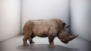 The almost extinct northern white rhino in Alexandra Daisy Ginsberg's The Substitute, 2019