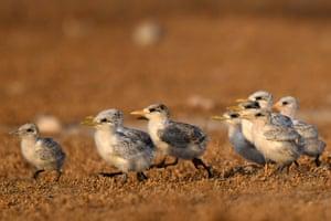 Baby lesser crested terns on Kubbar Island, Kuwait.