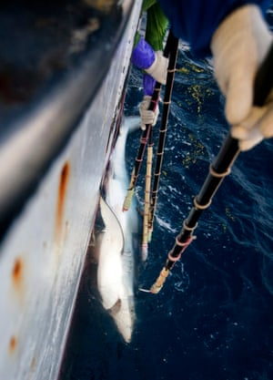 A blue shark is pulled from the Mozambique Channel, onboard a Japanese longliner, Fukuseki Maru No 07