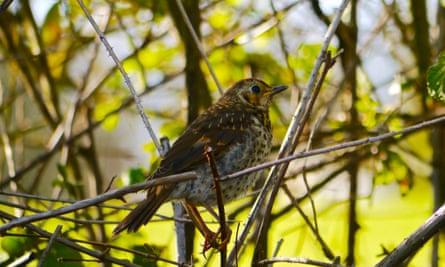 Thrush perching in thicket