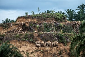 Palm oil Survivors, by Aaron 'Bertie' Gekoski, UK/US winner, Wildlife Photographer of the YearOn the island of Borneo, three generations of elephants cross the terraces of an oil palm plantation being cleared for replanting. The palm oil industry is still a major driver of deforestation, squeezing elephants into smaller pockets of forest. Increasingly they come into conflict with humans, with elephants being shot or poisoned. Attacks on humans are also on the rise.
