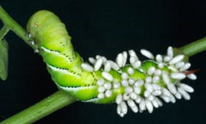 Sphinx moth caterpillar covered with braconid wasp cocoons.