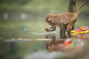 A rhesus macaque digs through litter in the polluted waters of Yamuna river in Delhi, India