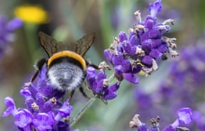 Pokrent, Germany: A bumblebee collects pollen on a lavender plant. The hymenoptera (a group comprising bees, wasps and sawflies) has an average life expectancy of 28 days