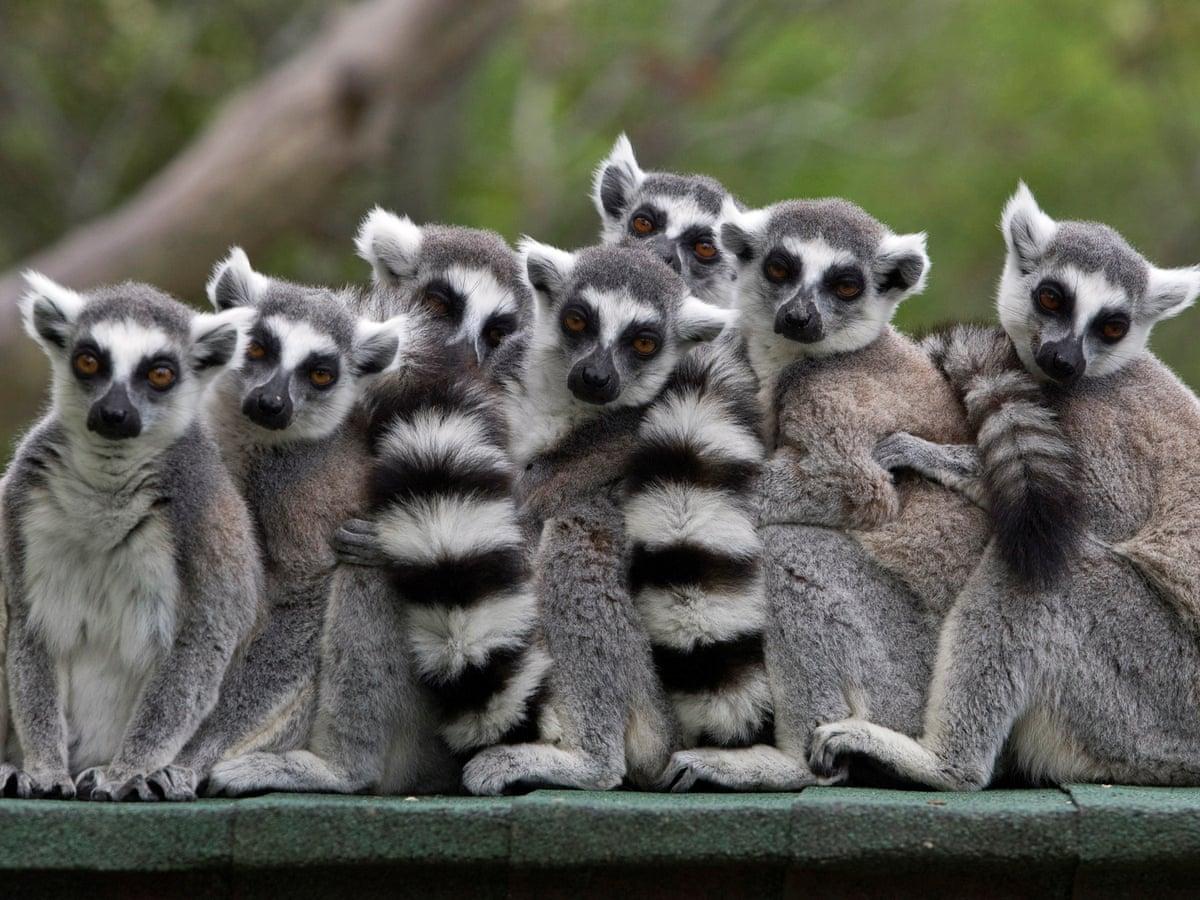 Lemur, Spesies Menarik dari Pulau Madagaskar