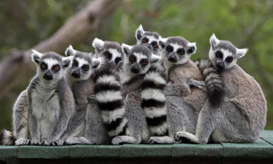 Captive ring-tailed lemurs. The male produces a floral scent during the breeding season which has chemicals also found in coriander and cucumbers.