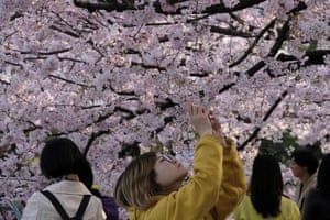 Taking a close look at the cherry blossoms in Tokyo