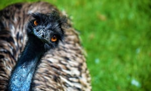 'This emu is fast, so they're having kind of a hard time unless they just happen to get him in an area where he can be contained a little more,' said animal services spokesperson Tenille Fox.