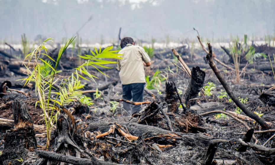 Burned peatland and forest remains, planted with oil palm seedlings