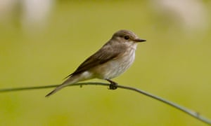 Spotted flycatcher on a fence