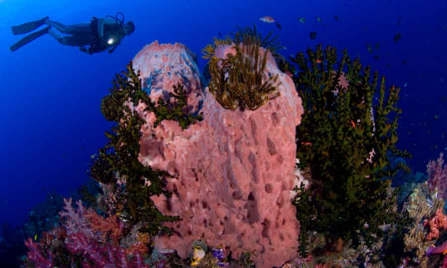 A diver looks on at a giant barrel sponge, Xestospongia testudinaria.