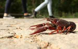 A Louisiana crawfish crosses a path in the Tiergarten park in Berlin, Germany