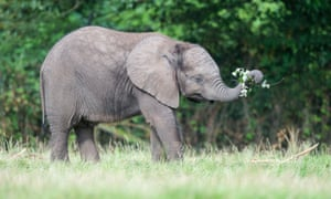 Sutton, the baby elephant, West Midland Safari Park.