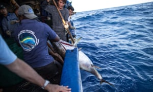 A yellowfin tuna that gets a high score for quality by a dock inspector can fetch around $2,800 wholesale in Japan, where the fish will be sliced and resold at a profit in a sushi restaurant.