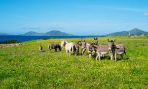 Donkeys on Asinara island, Sardinia.