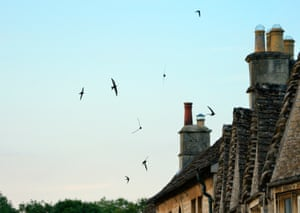 Common swifts (Apus apus) screaming as they fly in formation over cottage roofs at dusk, Lacock, Wiltshire. The return of swifts to the UK in early May, with loud screaming parties whipping over rooftops, signals the start of summer. It's a sight and sound once common in communities across the UK, but many villages and towns have lost their swifts. They've hung on, however, in places where there are many old houses, with spaces under eaves and roof tiles.
