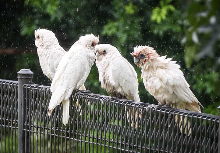 A quartet of corellas perched on a fence in Windsor, west of Sydney.